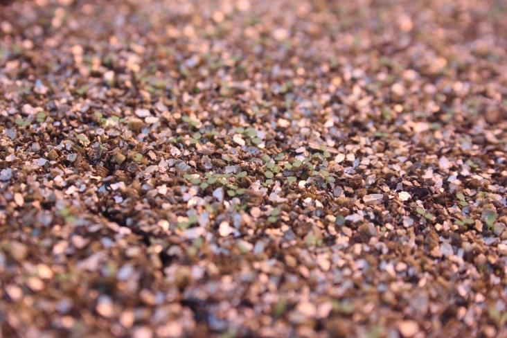 Erigeron annuas seed germinating