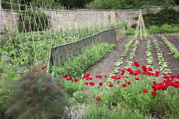fennal in the kitchen garden