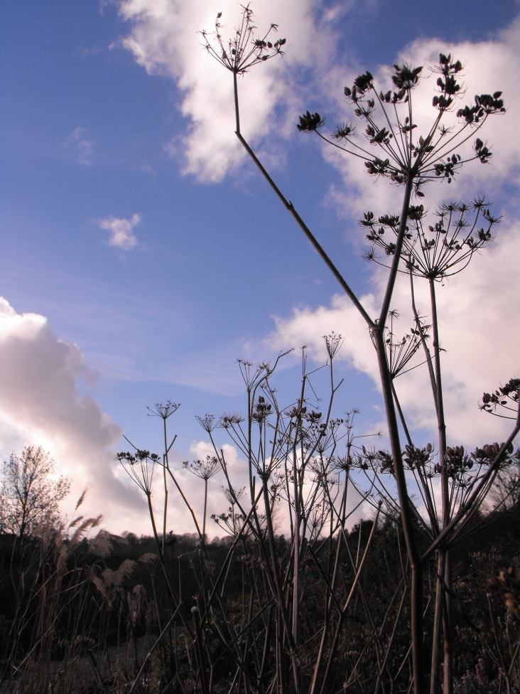 fennel in winter