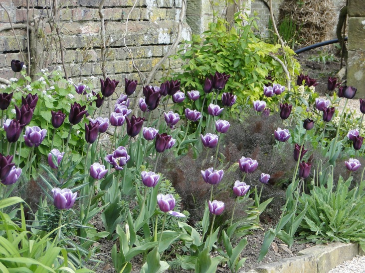 tulips with purple fennel