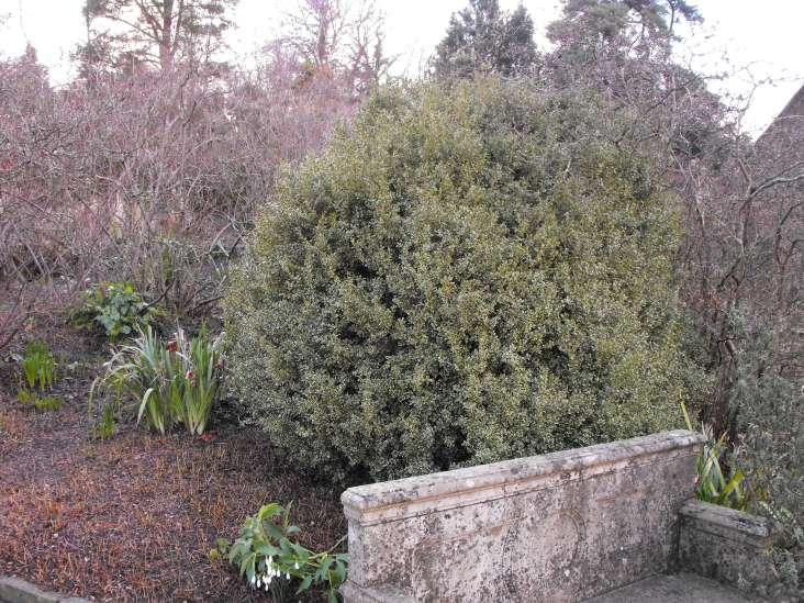 buxus sempervirens elegantissima (1)
