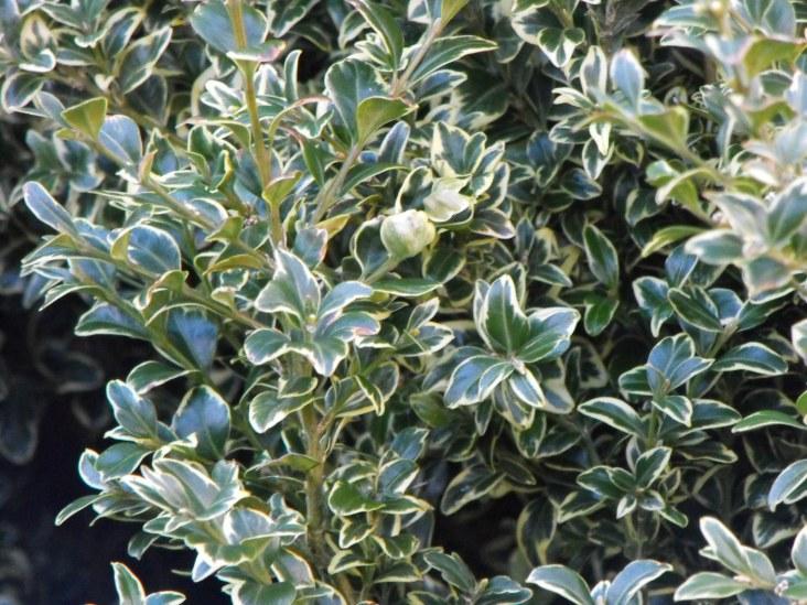 buxus sempervirens elegantissima (2)