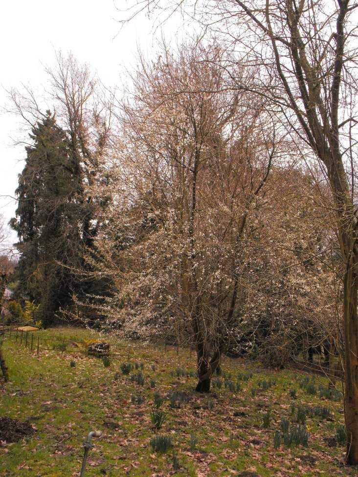 Prunus (1)
