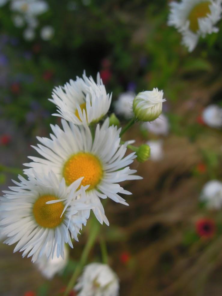 Erigeron annuus Asteraceae (Daisy fleabane)