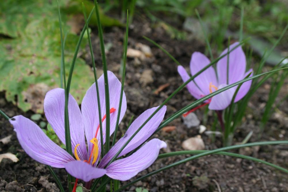 crocus-sativus-crocus-safron-bulb
