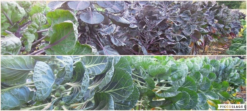 brassica-oleracea-kitchen-garden