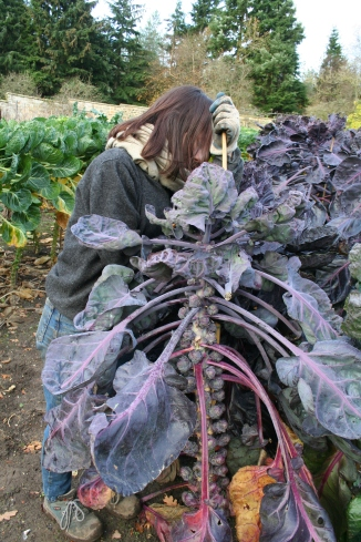 sarah-staking-purple-brussle-sprouts