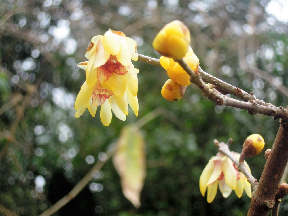 chimonanthus-praecox-calycanthaceae-carpark-long-border