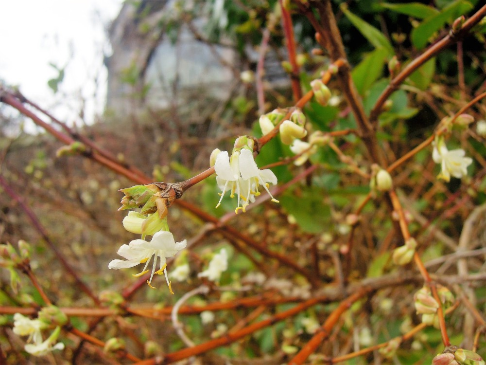 lonicera-fragrantissima-caprifoliaceae-long-border