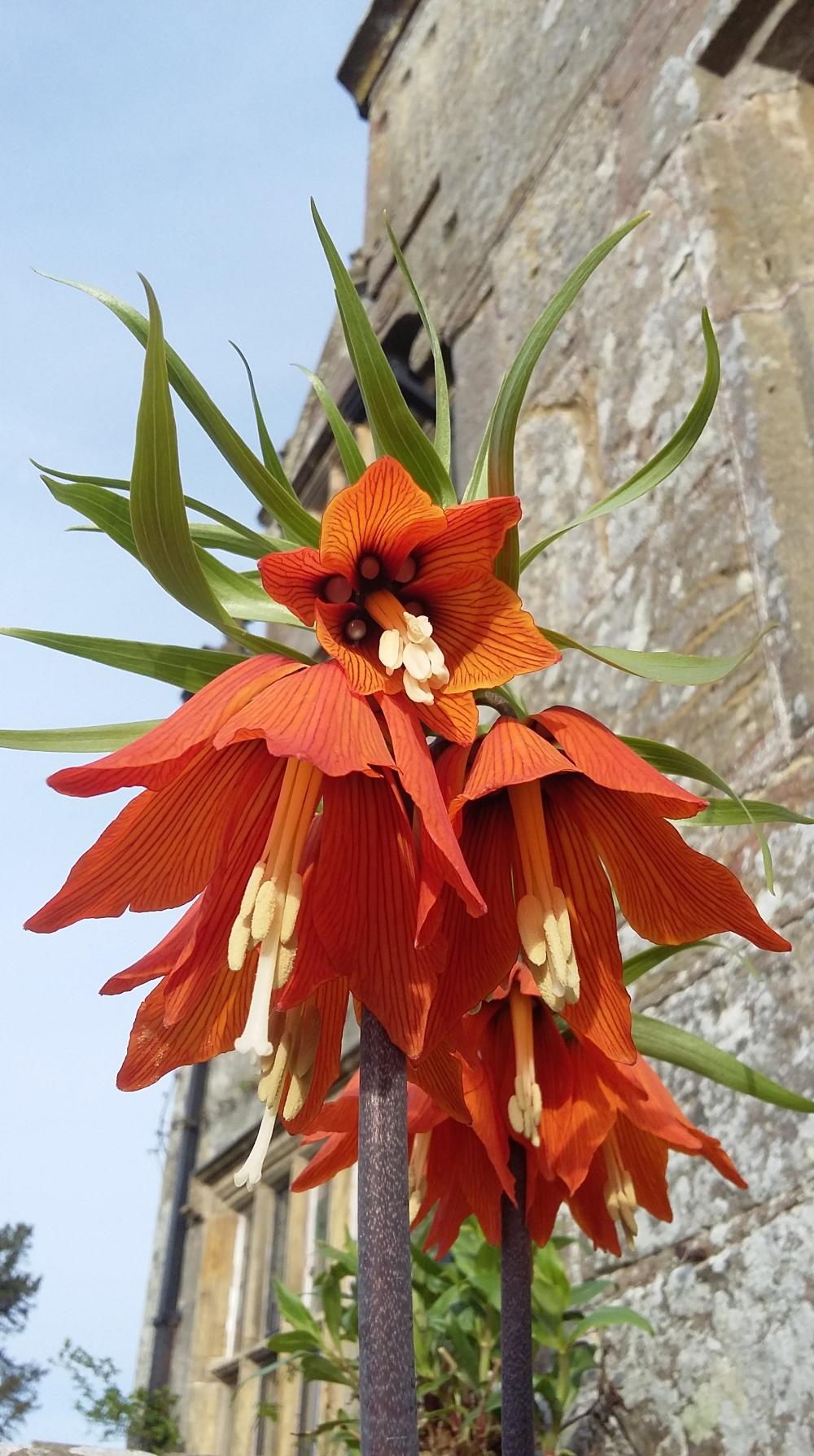 Fritillaria imperialis (3)