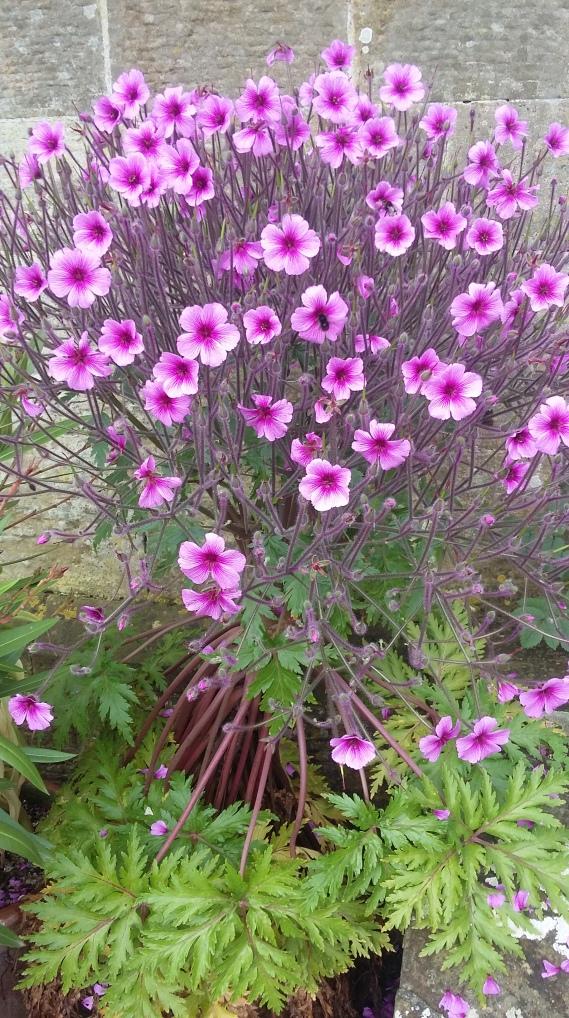 Geranium maderense 2