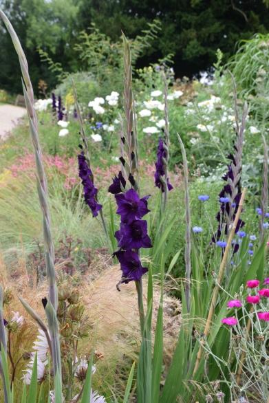 Gladiolus 'Purple Flora' (2)