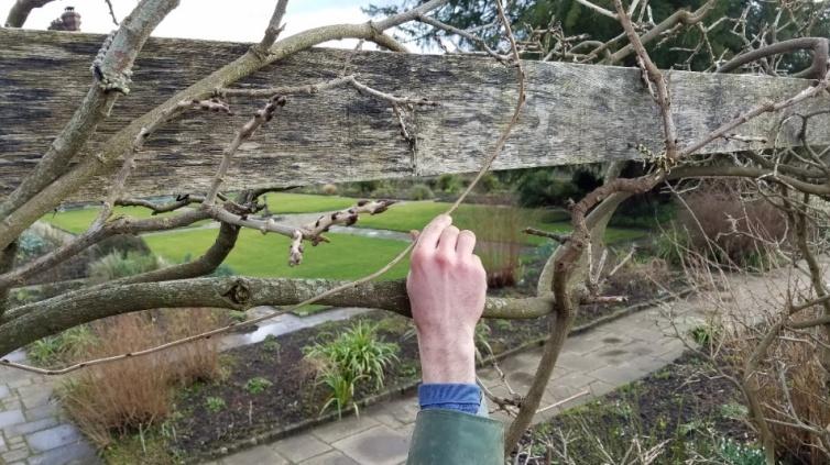 wisteria 4