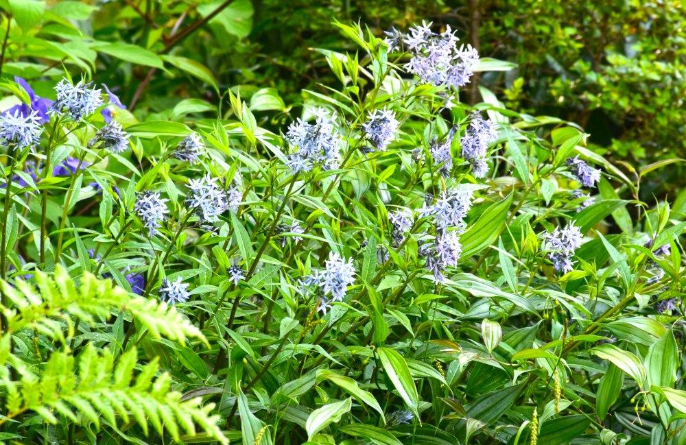 amsonia tanernea montana